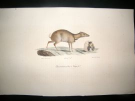 Saint Hilaire & Cuvier C1830 Folio Hand Colored Print. Chevrotine de Java